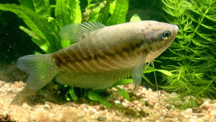 Trichopodus Pectoralis
