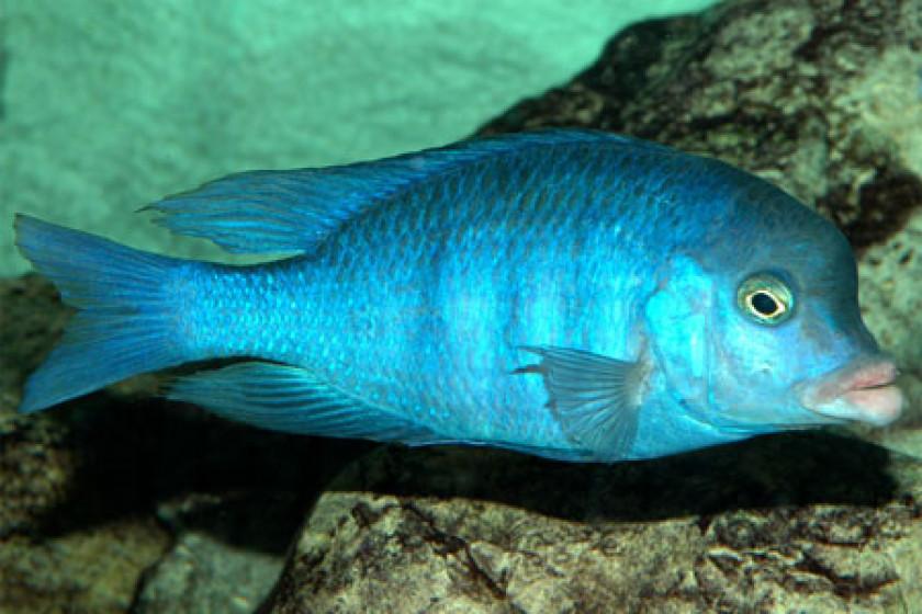 Cyrtocara Moorii (mâle adulte)