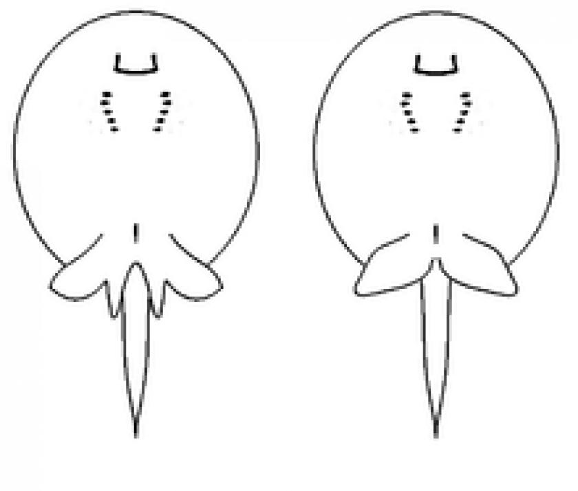 Potamotrygon Hystrix – Mâle à gauche, femelle à droite