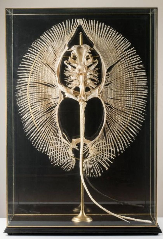 Squelette de Potamotrygon Motoro (Raie à ocelles)
