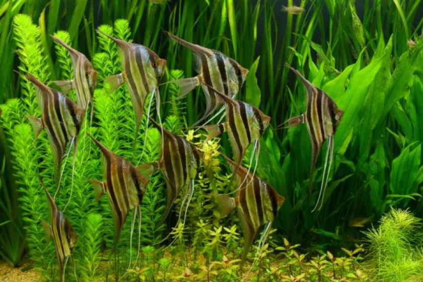 Banc de Pterophyllum Altum «Orinoco» en aquarium
