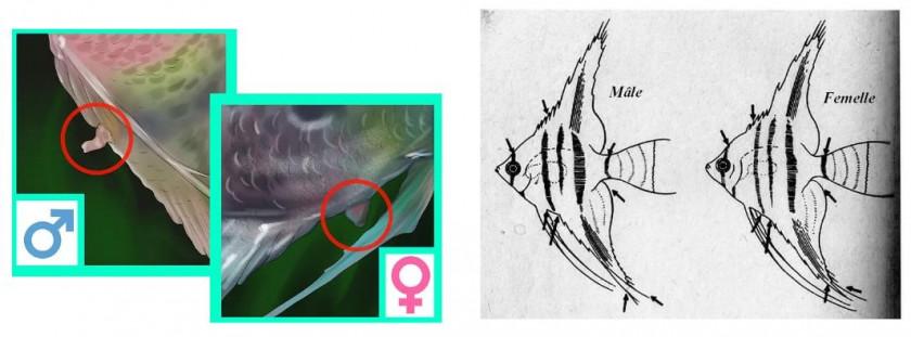 Différence mâle femelle chez les sclaires