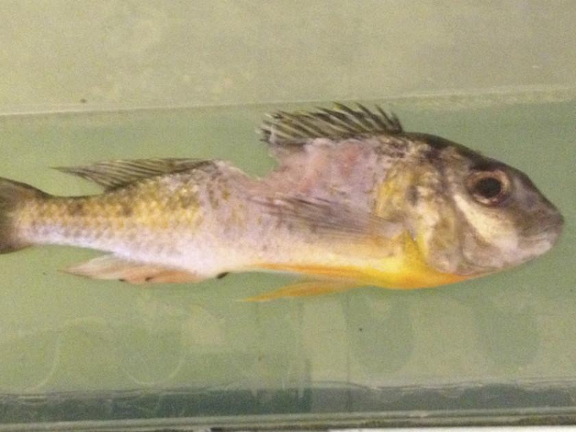Limnotilapia Dardeinni mordu par un Tetraodon Mbu