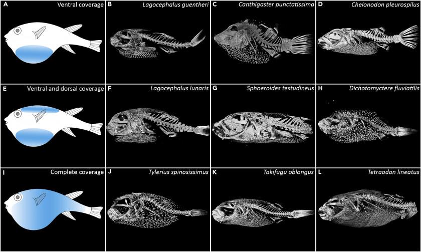 Différentes formes de squelettes de Tetraodons