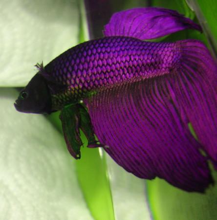 aquariophile Gladys2222