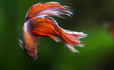 aquariophile Peonya