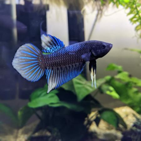 aquariophile AlexBetta