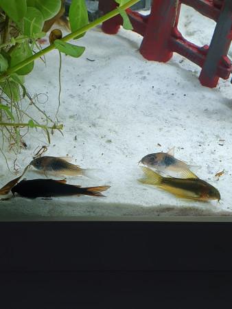 aquariophile grombbc