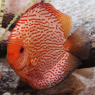 aquariophile anais_hypancistrus_41