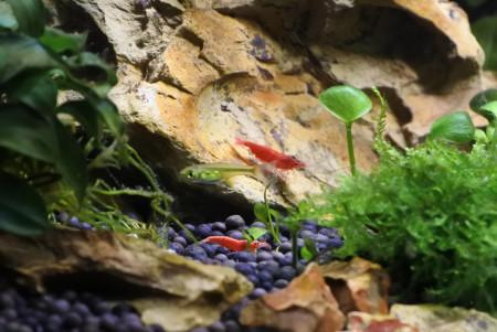 aquariophile LuckyKuhlii