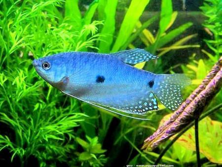 aquariophile Neolas