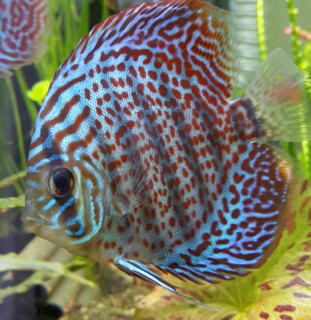 aquariophile CaePolo