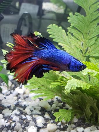 aquariophile geraldine
