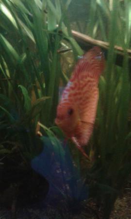 aquariophile laribe