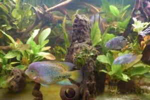 aquariophile MicMer