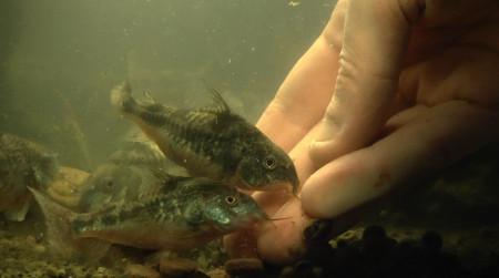 aquariophile Horlack
