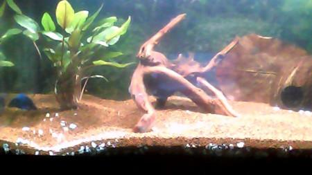 aquariophile Amin-13