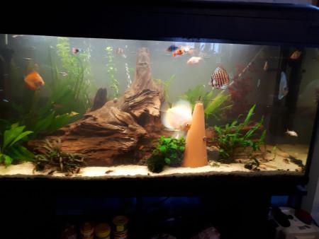 aquariophile Discus_scalaire