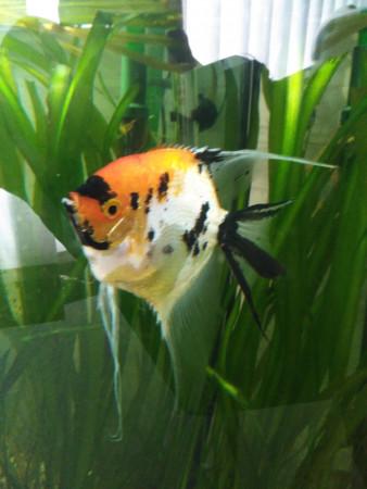 aquariophile Dedel