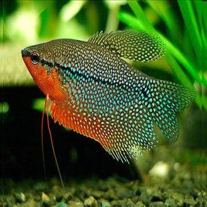 aquariophile Kamik