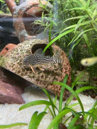 aquariophile Dart