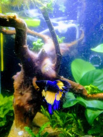 aquariophile Virigiloup