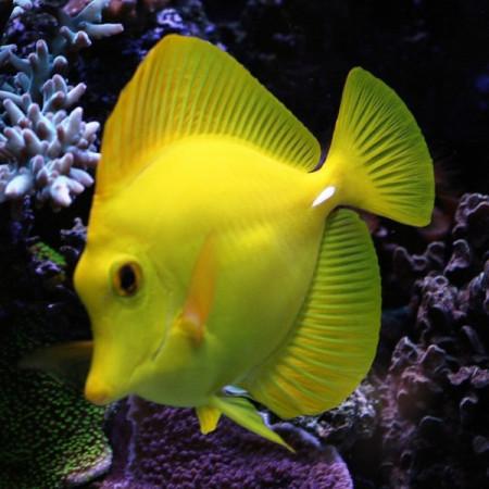 aquariophile Luckifish