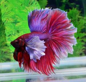aquariophile Scalair