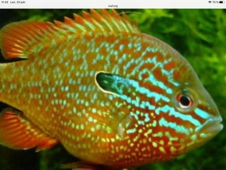 aquariophile Calicoba