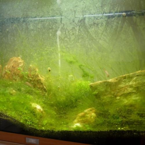iwagumi algues