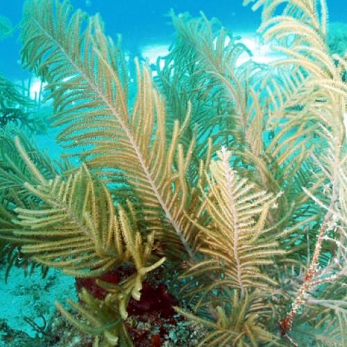 Nano aquarium pseudopterogorgia americanum