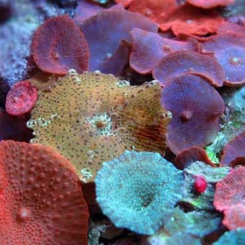 Nano aquarium discosoma