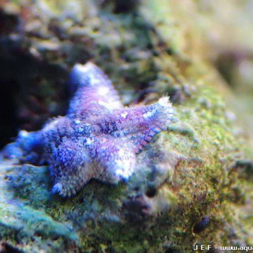 Nano aquarium étoile de mer