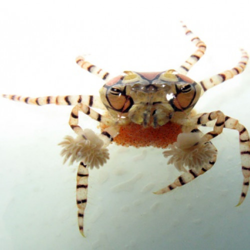 Nano aquarium lybia tessellata