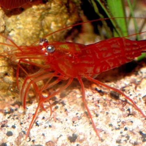 Nano aquarium lysmata wurdemanni