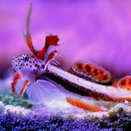Nano aquarium discordipinna griessingeri