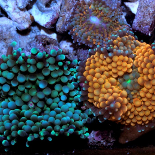 Nano aquarium ricordea florida