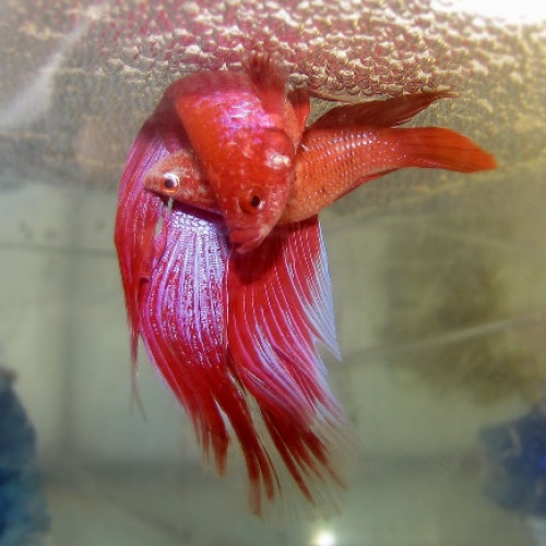 poisson reproduction Accouplement de Betta Splendens
