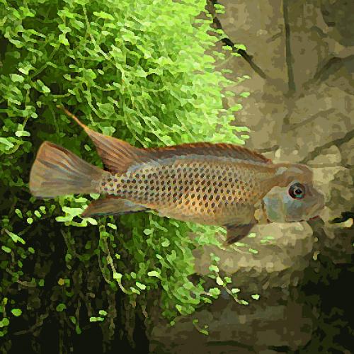 Steatocranus casuarius (environ 5 cm)