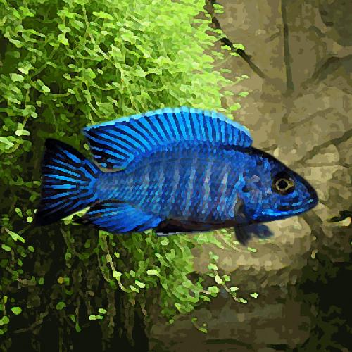 Aulonocara nyassae bleu (environ 5 cm)