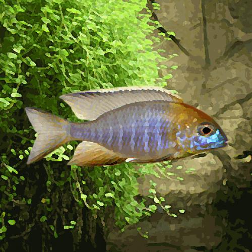 Aulonocara nyassae (environ 5 cm)