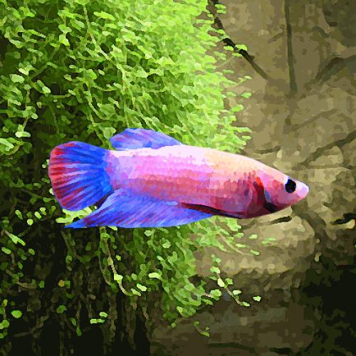 Betta femelle (environ 4.5 cm)