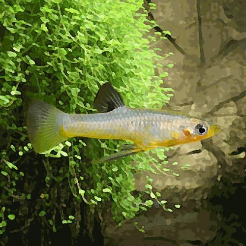 Girardinus metallicus (environ 4 cm)