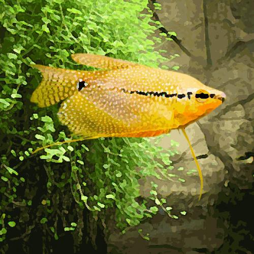 Gourami leeri gold (environ 6 cm)