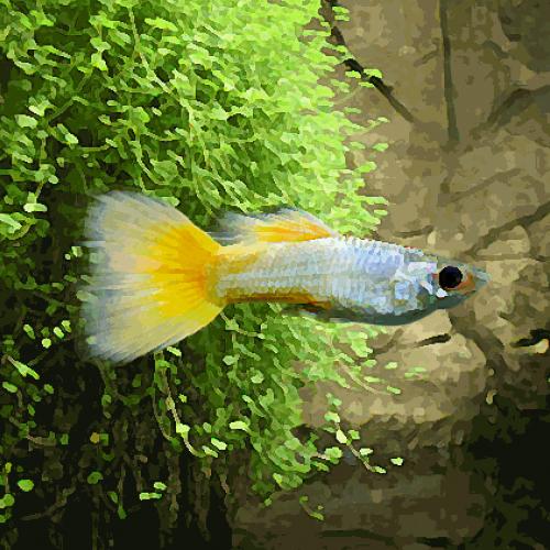 Guppy mâle jaune (environ 3 cm)