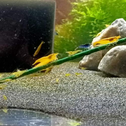 5 lots 15 cm lollies aquashrimp (N°1 DES VENTES EN FRANCE EN NOURRITURES ARTISANALE)