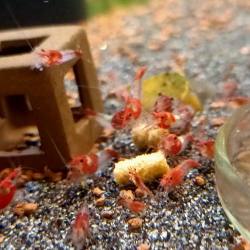 Pellets 25g pour crevettes aquarium ( N°1 DES SITES DE VENTES EN FRANCE EN NOURRITURES ARTISANALE !)