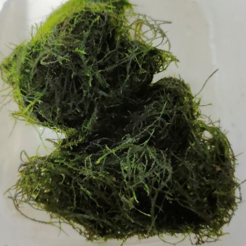 Mousse de java /Taxiphyllum barbieri