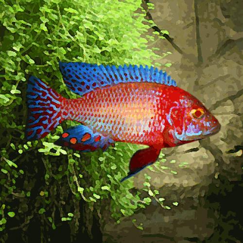 Aulonocara sp.firefish albinos (environ 5 cm)