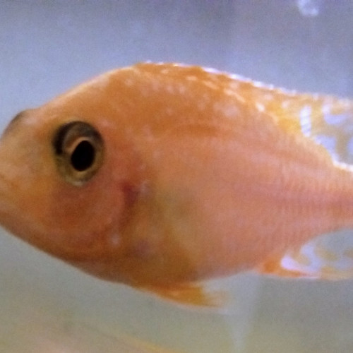 cichildé Aulonocara yellow firefish